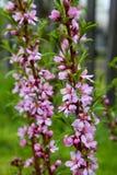Pink jasmine flowers Stock Images