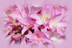 Pink Jersey Lily. Close up of pink Jersey Lilies stock image