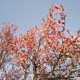 Bloom. Pink just bloom spring tree royalty free stock image