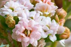 Pink kalanchoe #2. Macro of pink double kalanchoe stock photo