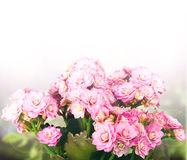 Pink Kalanchoe background Royalty Free Stock Photography