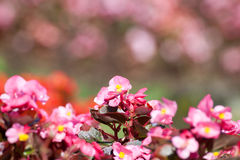 Pink Kalanchoe blossfeldiana is bokeh flowers background(Selecti Royalty Free Stock Photo