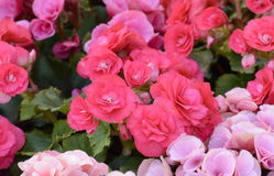 Pink Kalanchoe blossfeldiana - Flaming Katy flower Stock Image