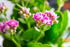 Pink Kalanchoe Blossom Royalty Free Stock Photos