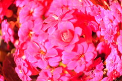 Pink Kalanchoe. Close up of multiple pink flowers. Kalanchoe flower head Royalty Free Stock Image