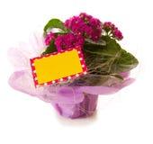 Pink kalanchoe flower. Stock Photo
