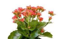 Pink kalanchoe flower plant Stock Image