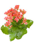 Pink Kalanchoe Flower Plant Stock Images