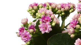Pink Kalanchoe Flower Time-lapse stock video