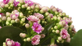 Pink Kalanchoe Flower Time-lapse Royalty Free Stock Images