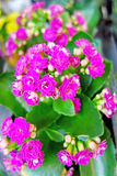 Pink kalanchoe flowers Royalty Free Stock Photos