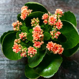Pink kalanchoe flowers. Stock Images