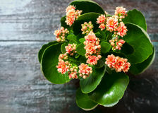 Pink kalanchoe flowers. Royalty Free Stock Photo