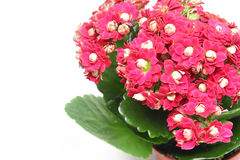 Pink kalanchoe Stock Images