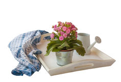 Pink Kalanchoe isolated on white tray on a white background isol Royalty Free Stock Photography