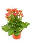 Pink kalanchoe plant Stock Image