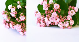 Pink kalanhoe flower with green leaves Royalty Free Stock Photos