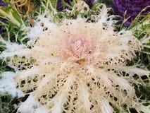 Pink Kale Royalty Free Stock Image