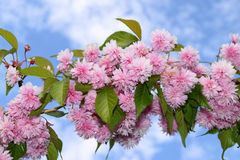 Pink kanzan cherry blooms Royalty Free Stock Images