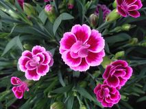 Pink kisses dianthus flowers Royalty Free Stock Images