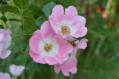 Pink Knockout Rose Group. A flowering rose bush from the summer Royalty Free Stock Photos