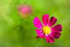Pink kosmeya Royalty Free Stock Photos
