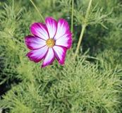 Pink Kosmeya flowers in the garden Royalty Free Stock Image
