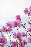 Pink Labrador tea Royalty Free Stock Images