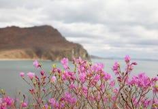 Pink Labrador tea/rhododendron royalty free stock photos