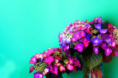 Pink Lacecap Hydrangea on Green Stock Photography