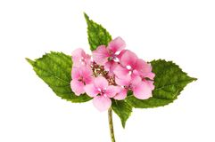 Pink Hydrangea flower. Pink lacecap hydrangea isolated against white Stock Photos