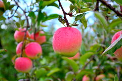 Pink Lady Closeup. This Photo was taken at Jonamac Apple Orchard in Malta, Illinois Stock Photography