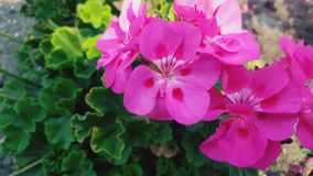 The Pink Lady. Lovely photo of a batch of flowers planted near Loyola campus Stock Photos