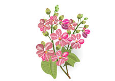Pink lagerstroemia and fern on white background. Isolated picture Royalty Free Stock Photos
