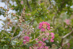 Pink Lagerstroemia indica flowrs Stock Photo