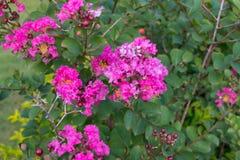 Pink Lagerstroemia speciosa flowers Stock Photo