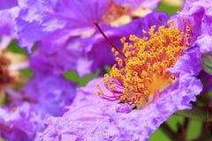Pink lagerstroemia speciosa flowers macro Stock Photos