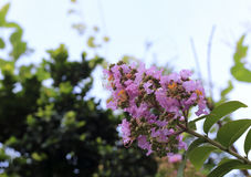 Pink lagerstroemia speciosa flowers Royalty Free Stock Image