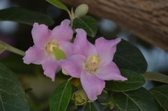 Pink lagunaria patersonia flowers. Lagunaria patersonia, a member of the Malvaceae family of plants, is an Australian native species that`s found, in the wild stock images