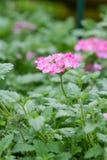 Pink lantana camara flower Stock Photography