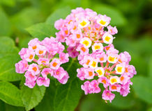 Pink lantana flowers. Royalty Free Stock Photo