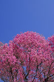 Pink Lapacho tree Stock Image