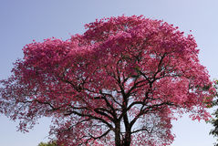 Pink Lapacho tree Stock Photos