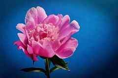 Pink large peony flower close-up side view blue background. Blooming open Bud dark vignette royalty free stock photos