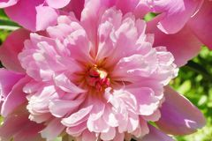 Pink large peony flower on the street close-up view from above. Pink large peony flower on the street close-up top view blooming open Bud royalty free stock photography