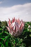 Pink Large Protea Half Opened on a Protea farm royalty free stock images