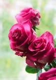 Pink large rose buds stock photos