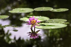 Pink water Lily with reflection in the pond royalty free stock image