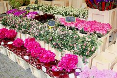 Pink Lathyrus bouquets, flower market Amsterdam Stock Image