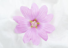 Pink Lavatera Royalty Free Stock Photography